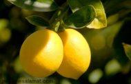 لیمو بخورید تا ...