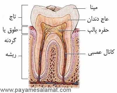 ساختار دندان و تعداد آنها در سنین مختلف