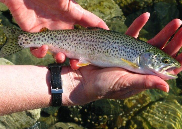 مقایسه و تفاوت ماهی قزل آلا پرورشی و قزل آلا رودخانه ای