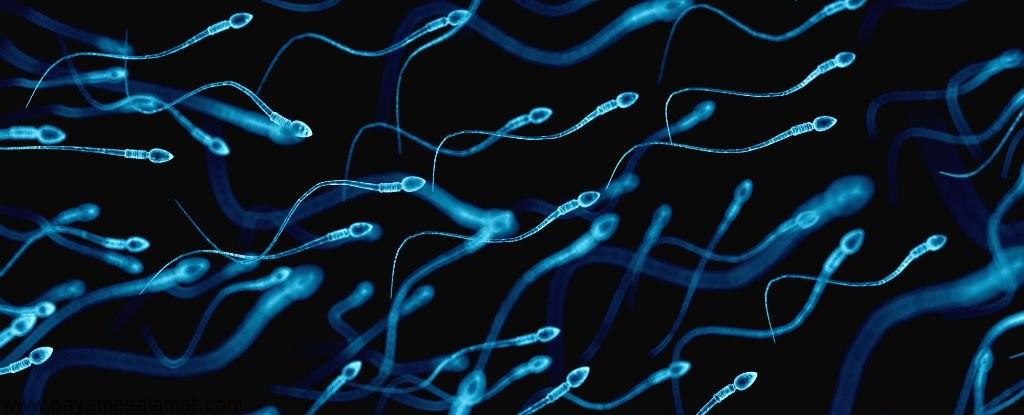 اسپرماتوزوئید یا همه چیز در مورد اسپرم