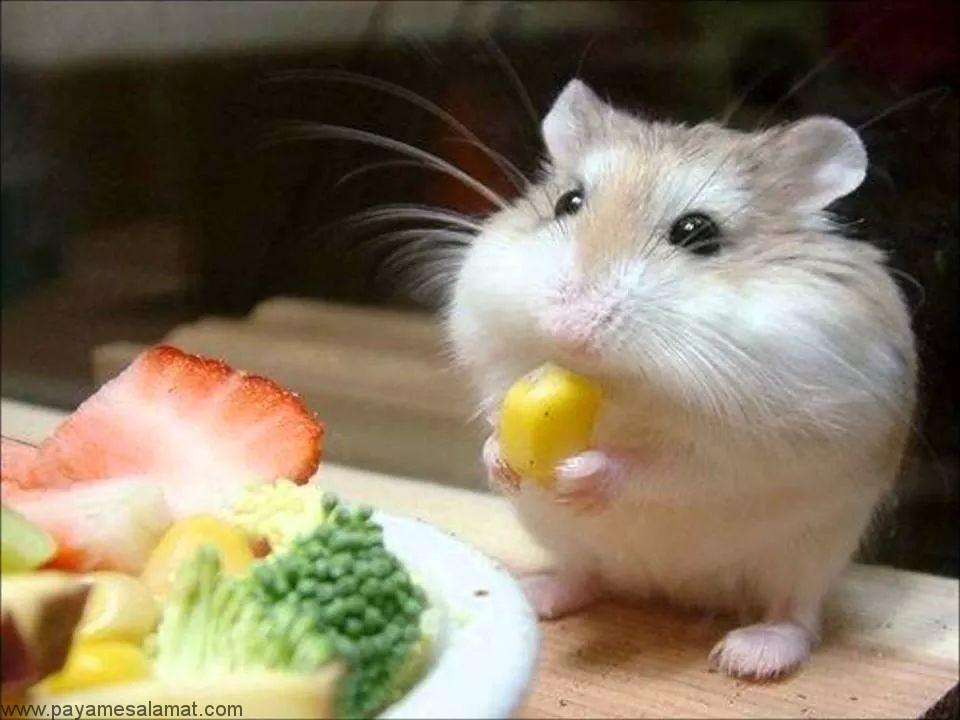 رژیم غذایی و تغذیه همستر