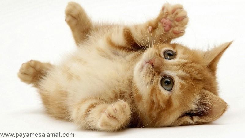 راهنمای کلی برای نگهداری از گربه