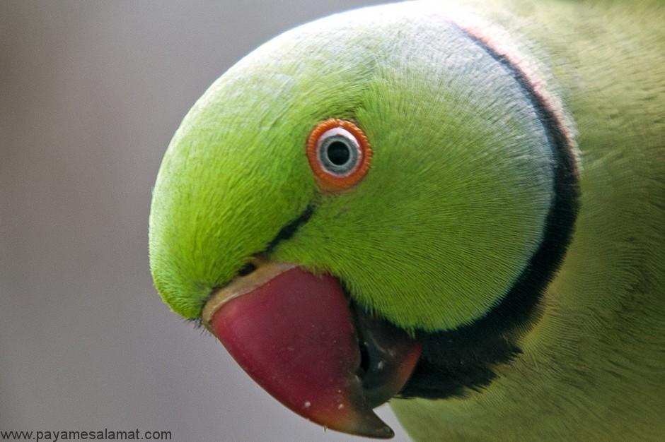 شایع ترین بیماری های چشم در پرندگان خانگی