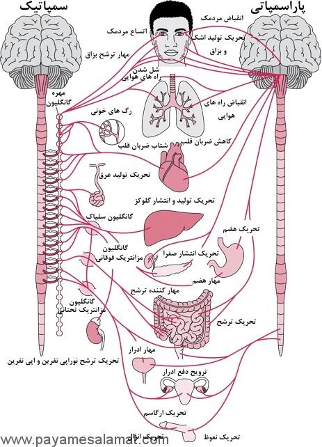 مروری بر سیستم عصبی خودکار