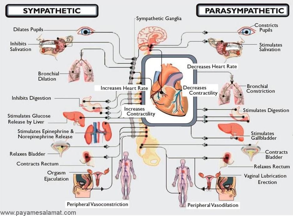مروری بر آناتومی، کارکرد و نشانه ها و درمان اختلال در سیستم عصبی خودکار