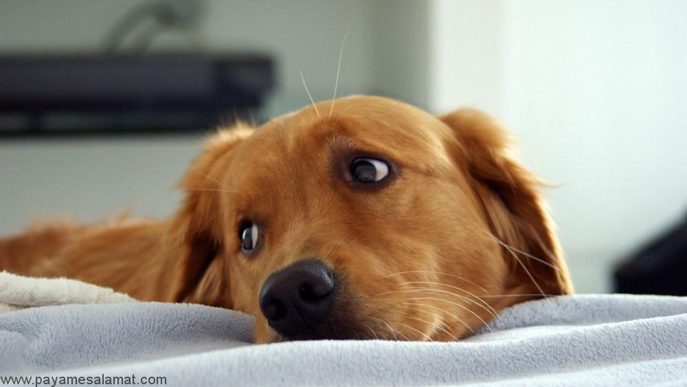 بزرگ شدن پروستات در سگ ها از علائم تا روش های درمان آن