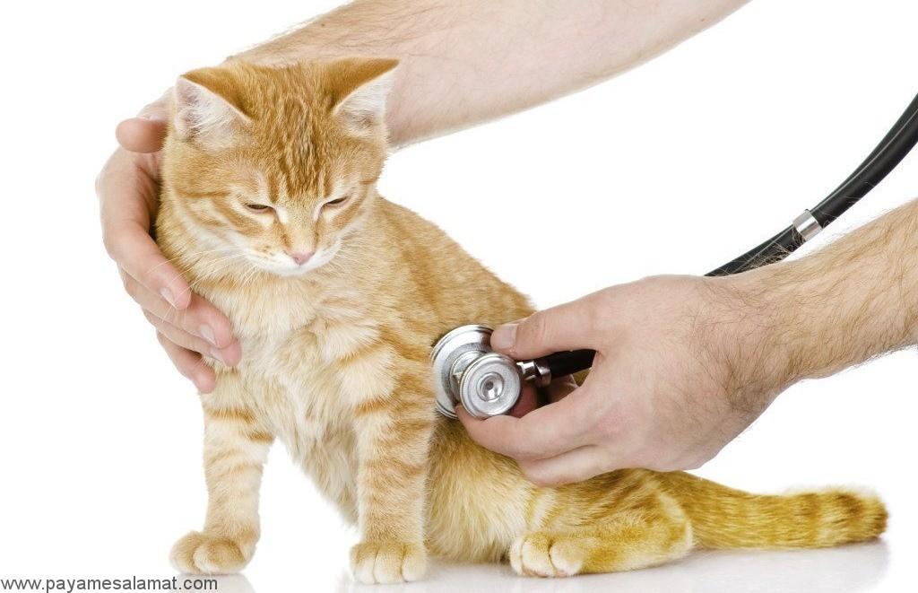 استفراغ در گربه ها نشانه چیست و چگونه درمان می شود؟