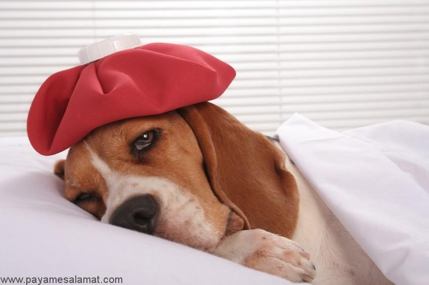 نشانه ها، علل و درمان خون در ادرار سگ (هماچوری در سگ)