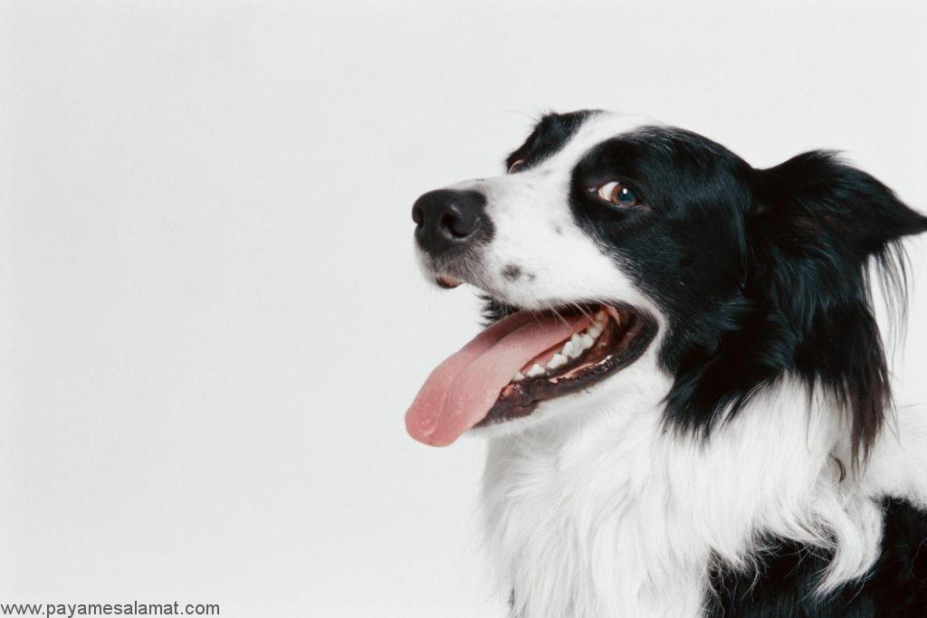 نشانه ها، علل و درمان التهاب لثه در سگ ها