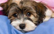 نشانه ها، علل و درمان عفونت باکتریایی کمپیلوباکتریوز در سگ ها