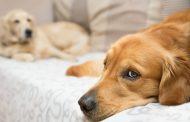 هیپرگلیسمی در سگ ها ؛ علل، نشانه ها، تشخیص و درمان