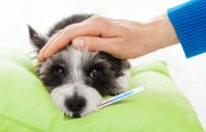 تب در سگ ها ؛ نشانه ها، علل، تشخیص و درمان