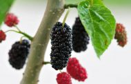 خواص شاتوت ؛ میوه ای که از قلب و کبد شما محافظت می کند