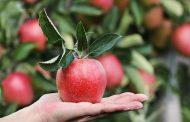 کدام میوه ها پکتین بالایی دارند؟