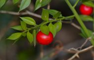 درمان گیاهی قانقاریا یا گانگرن چیست؟