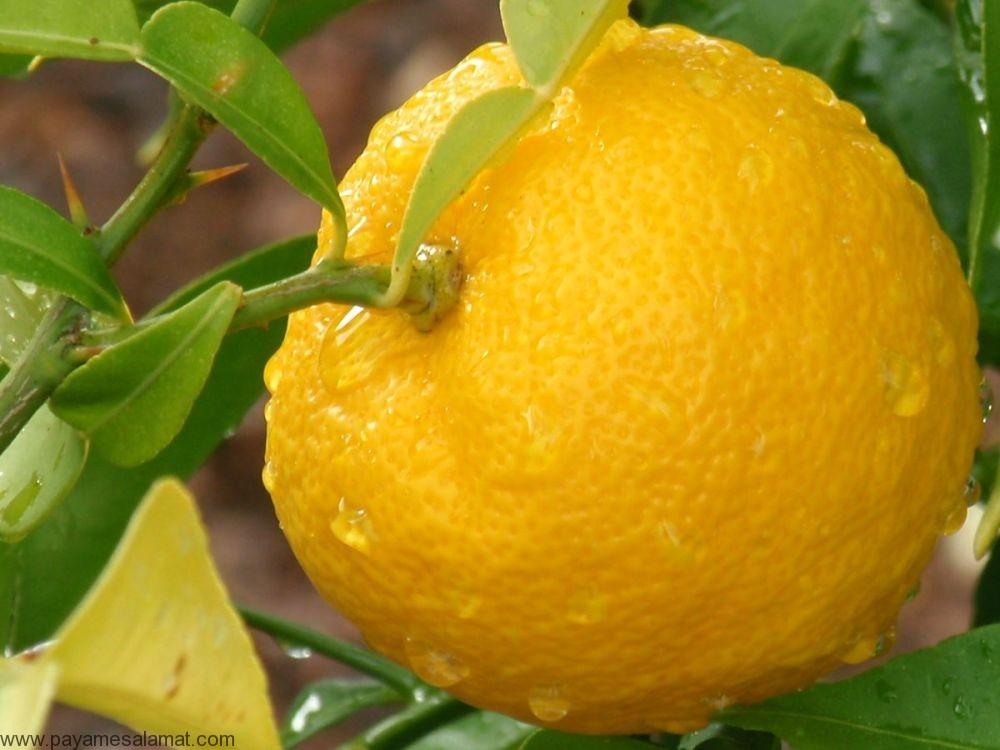 خواص و ارزش غذایی میوه یوزو