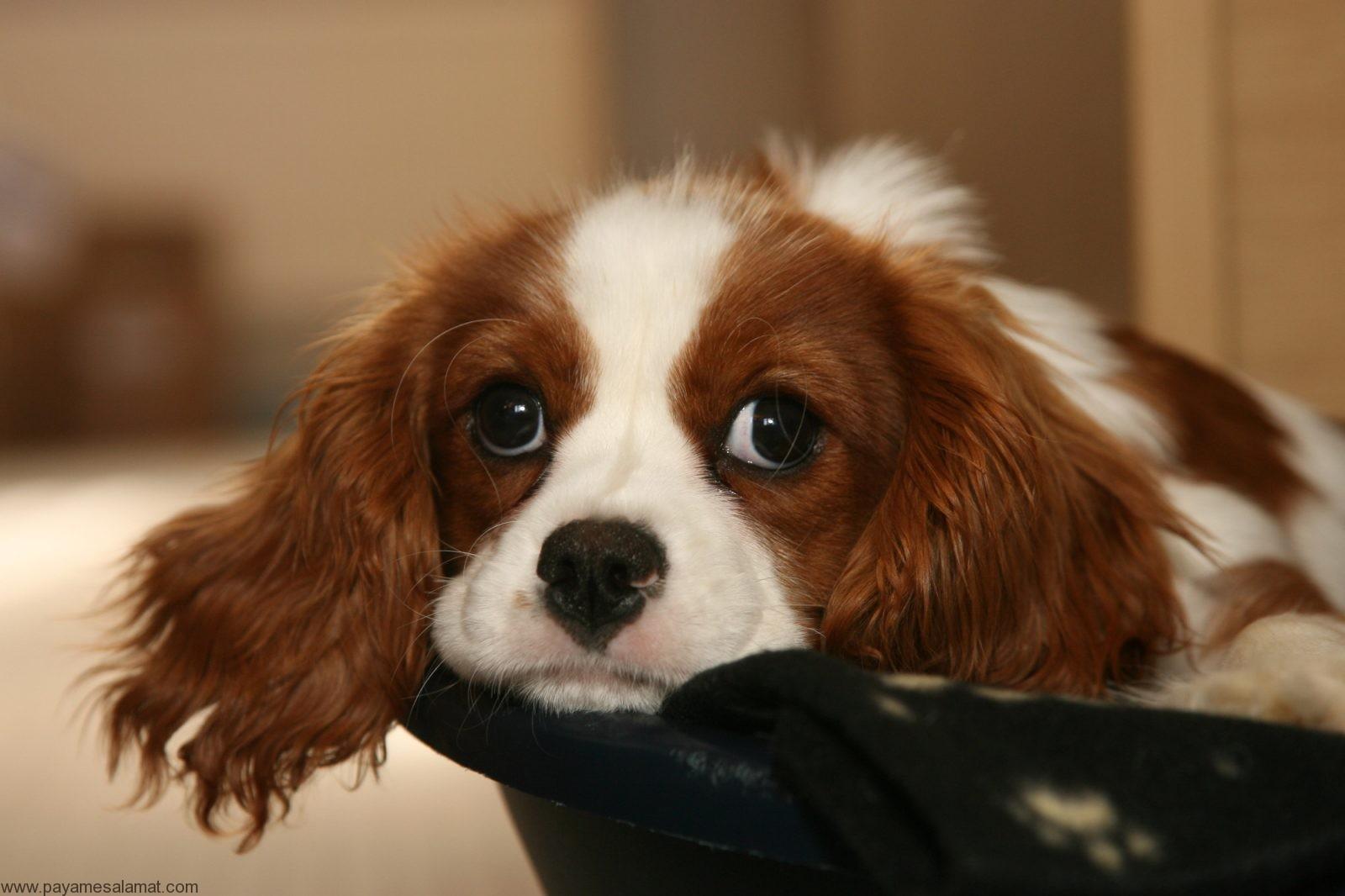 پلی سیتمی ورا در سگ ها ؛ علائم، علل، روش های تشخیص و روش های درمان