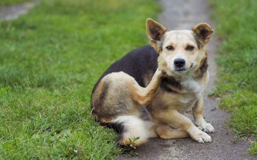 روش های خانگی برای مقابله و درمان خارش پوست سگ