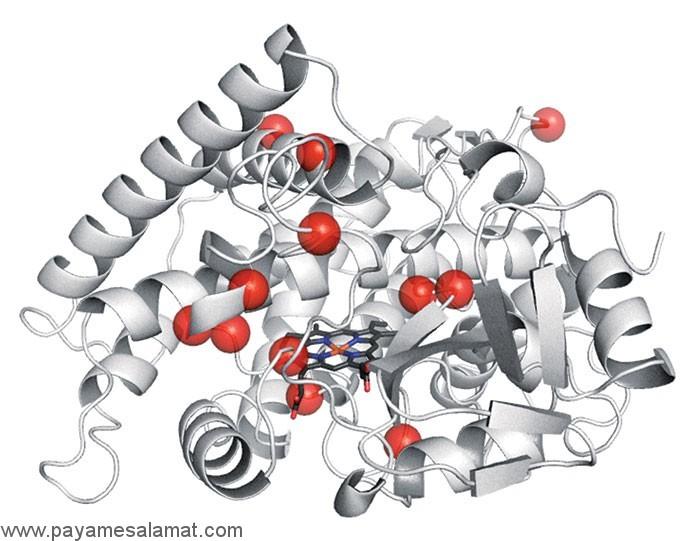 آنزیم ها چگونه کار می کنند و چه کاری در بدن انجام می دهند؟