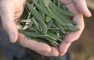 خواص برگ زیتون بر اساس مطالعات علمی و روش تهیه چای این گیاه