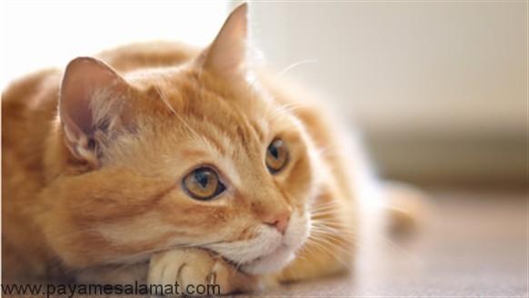 درمان عفونت مثانه در گربه ها به روش های ساده و خانگی