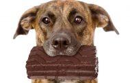 مسمومیت با شکلات در سگ ها ؛ علائم، روش ها تشخیص و روش های درمان