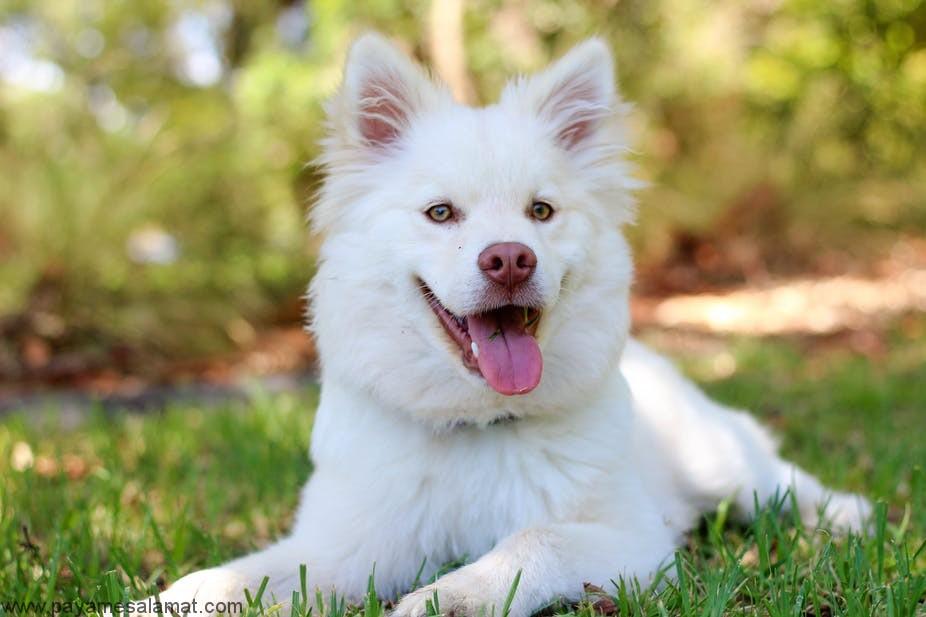 کم خونی مرتبط با سیستم ایمنی بدن در سگ ها