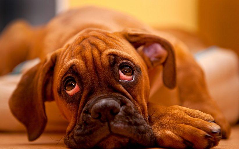 التهاب چشم در سگ ها ؛ نشانه ها، علل و روش های درمان