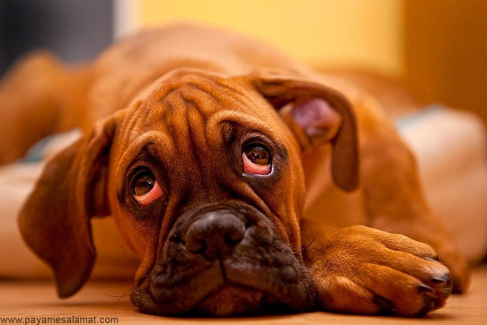 التهاب چشم در سگ ها