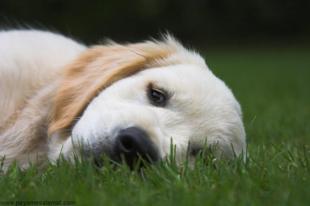 پنوموتوراکس در سگ ها