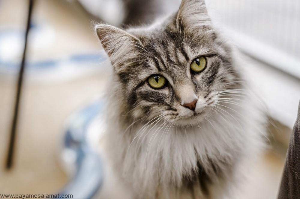 روش های تقویت سیستم ایمنی بدن گربه ها