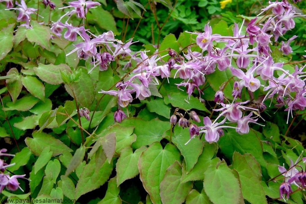علف شاخ بز (گیاه اپیدیوم) ؛ خواص و روش استفاده از این گیاه سنتی