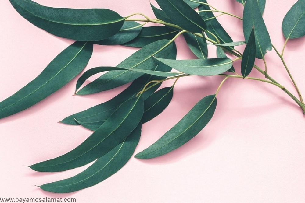 ۷ خاصیت شگفت انگیز برگ اکالیپتوس برای بدن