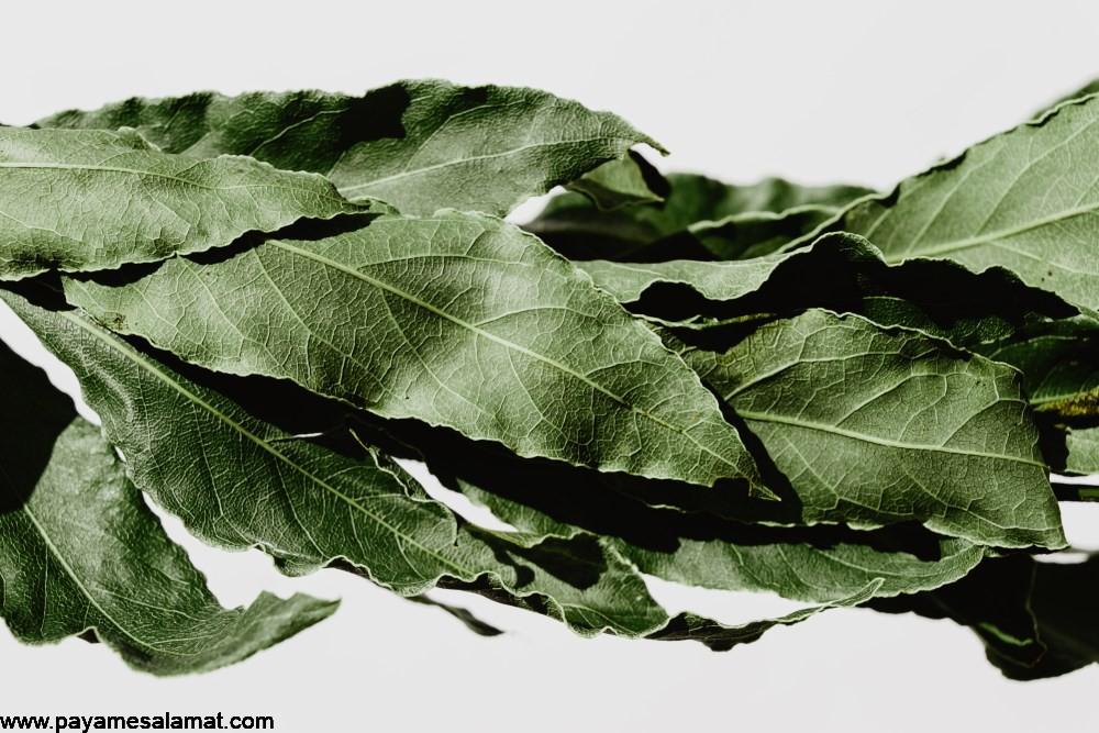 کاربردها، خواص و هر آنچه که لازم است درباره برگ درخت توت بدانید