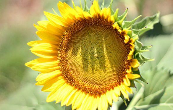 آیا روغن آفتابگردان روغن سالمی است؟